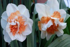 A Delnasho nárcisz fajta leírása és jellemzői, az ültetési szabályok és a növényápolás