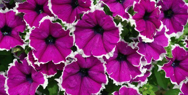 las petunias florecieron