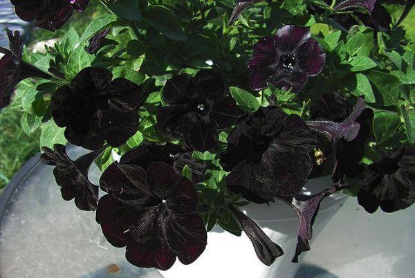 Petunias Blackberry