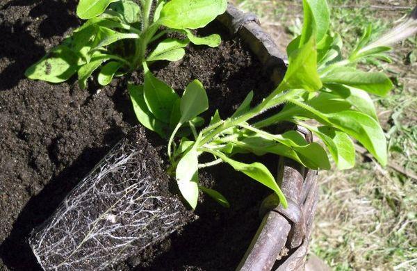 plantar petunias