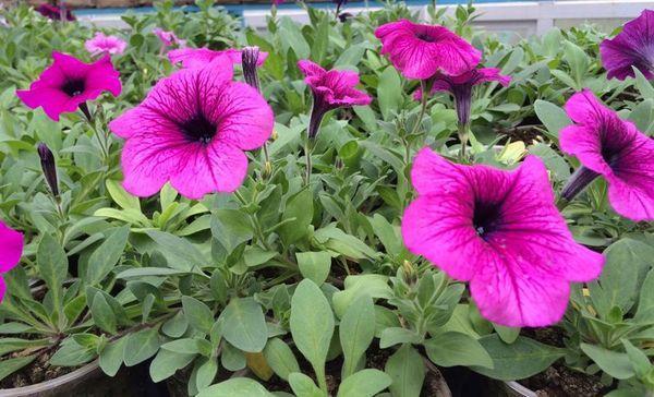 petunias florecientes