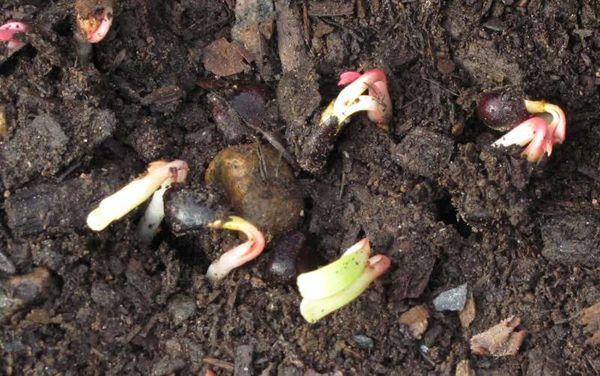 Bujori de semințe