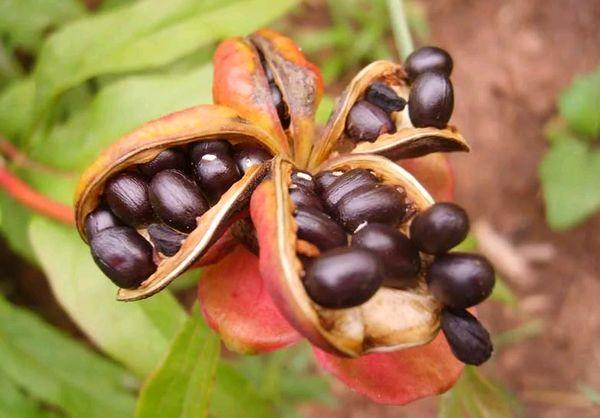 semințe de bujor