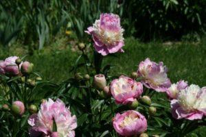 Caracteristicile și descrierea bujorilor Sorbet, plantare și îngrijire