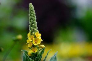 A vetőmagból termesztett verbascum évelő 10 legjobb fajtájának leírása