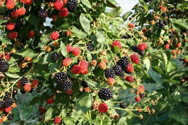 randament de fructe