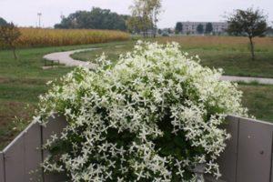 A mandzsúriai Clematis fajták leírása, termesztési mezőgazdasági technológia