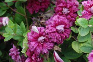 Opis Purpurea Plena Elegance clematis, pestovanie a prerezávanie