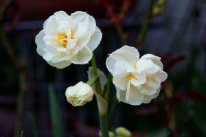 Descripción de la variedad Narciso Corona nupcial, esquema de plantación y cuidado.