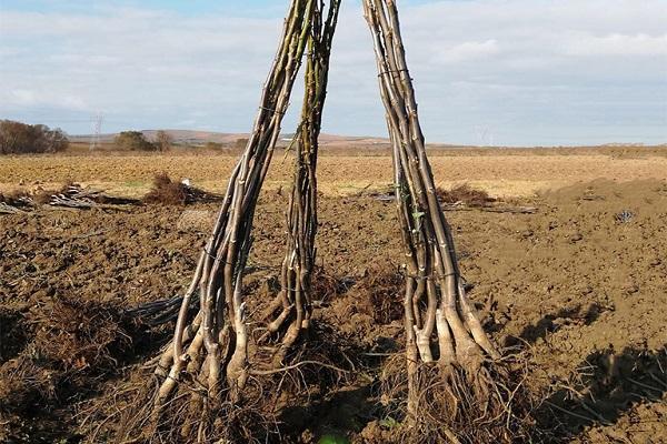 árbol para plantar