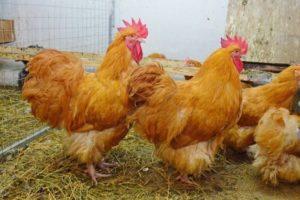 Az Orpington csirkefajta fajtái és leírása, karbantartási szabályok