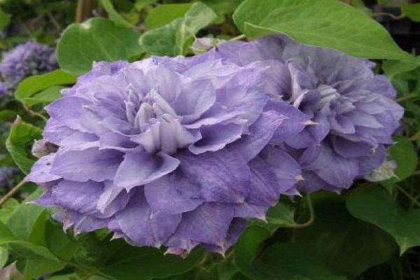 frottír virágzat