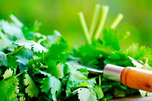 zöld koriander
