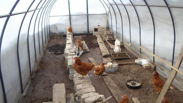 Csirkék télen egy polikarbonát üvegházban