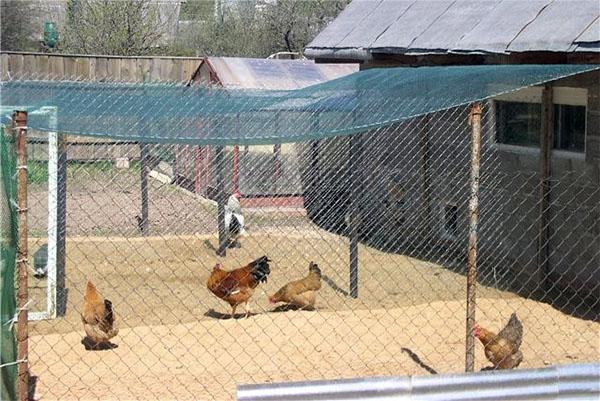 sétáló csirkék a csirkehúsból