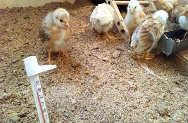 Alom a csirkehúsban