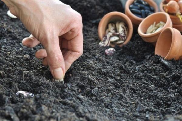 haricots dans le sol