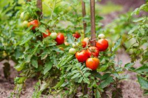 Instrucciones de uso de fungicidas para tomates y criterios de selección