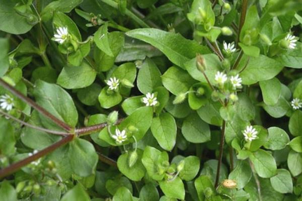 a fésű gyógynövény gyógyító tulajdonságai
