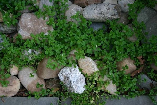 fa tetvek gyógynövényes tulajdonságai