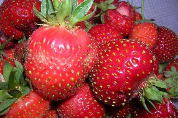 căpșuni roșii