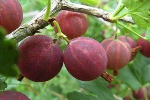 Descrierea soiului Harlequin gooseberry, reguli de plantare și îngrijire