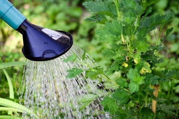 regando el arbusto