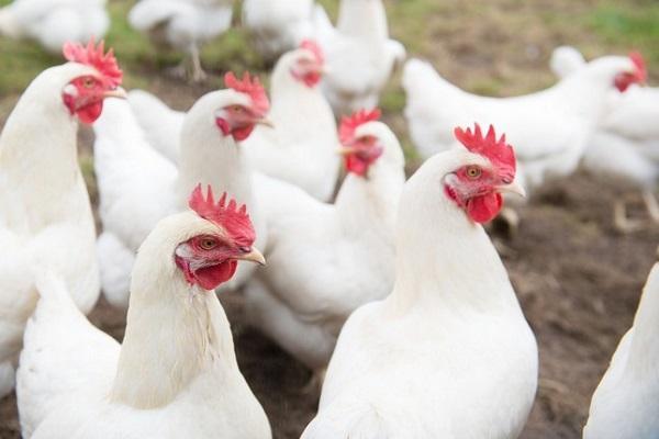 thoroughbred hens