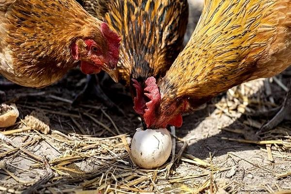 picotear un huevo
