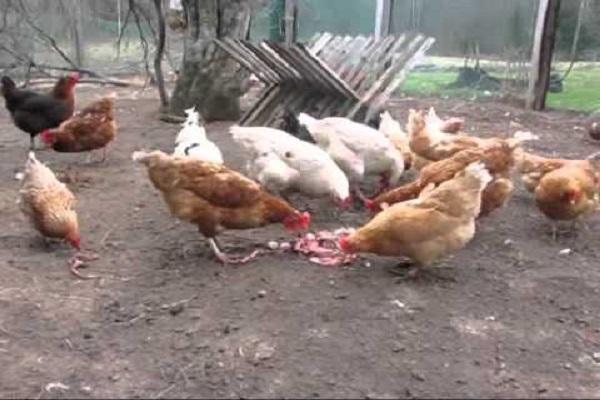 aves de corral comiendo carne