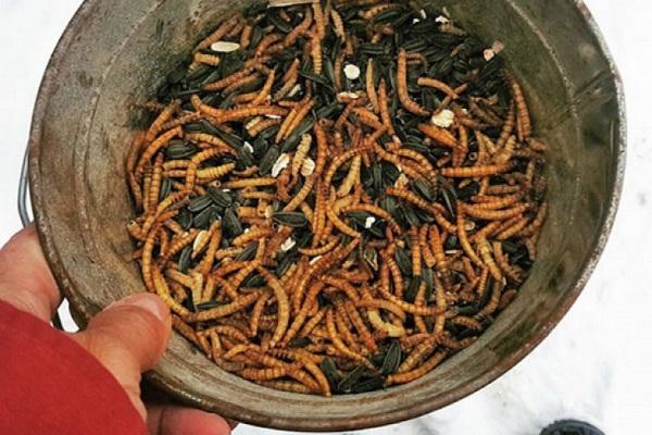 gusanos de la harina