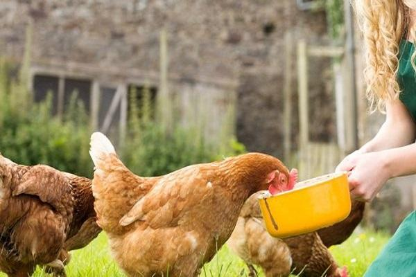 alimentar al pollo