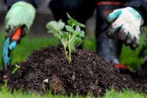 Az eper kezelésének legjobb módja a gyomoktól való megszabaduláshoz, a herbicidek leírása