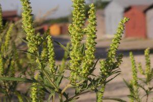 Intézkedések a parlagfű hatékony ellen és a legjobb gyomirtók leírása a gyomnövények ellen