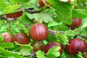 Descripción y sutilezas del cultivo de grosellas Olavi.