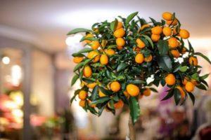 Descripción de la variedad de limón Tashkent, cultivo y cuidado en casa.