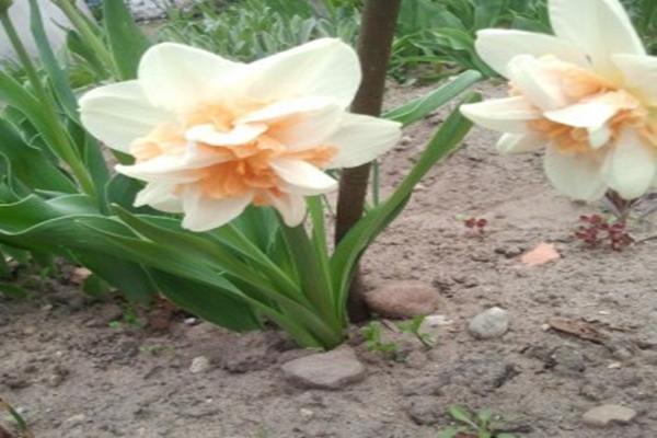Narcissus Rosie Cloud