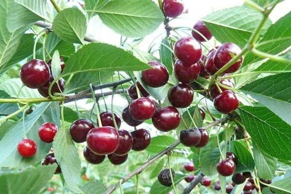 cseresznye bogyók