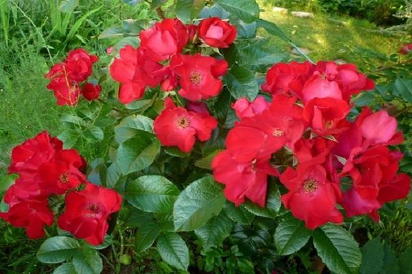 rosa robusta