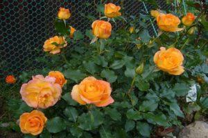 Descripción y características de la rosa del Sahara, las sutilezas del cultivo.