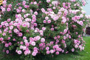 Funkcie výsadby trvalých kvetov kríkov v záhrade, opis najlepších druhov