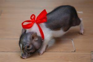 Descrierea raselor de mini-porci decorativi, cât timp trăiesc și condițiile de detenție