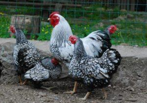 Description and characteristics of hens of the Hamburg breed, breeding features and analogues