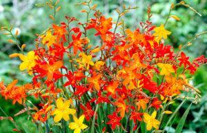 Descrierea și caracteristicile creșterii de gladioli japonezi, plantare și îngrijire