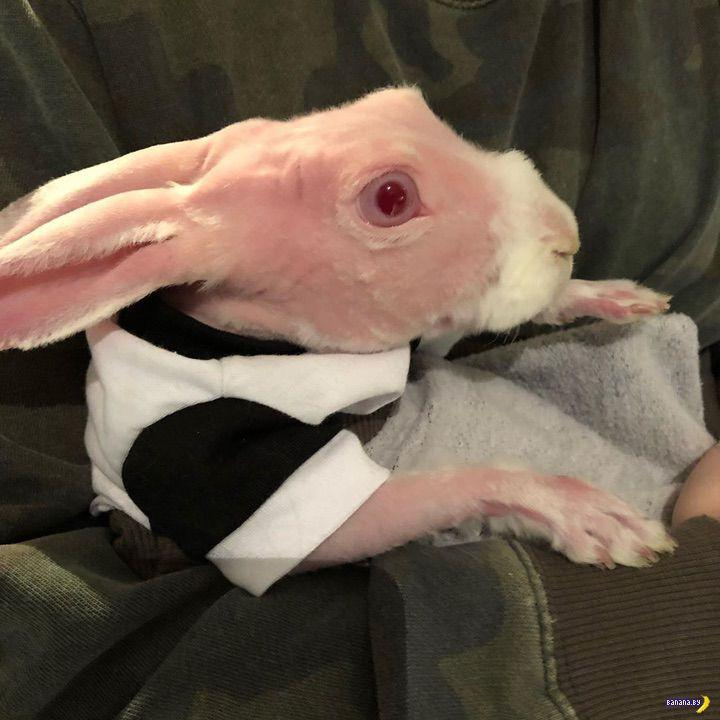 conejo calvo