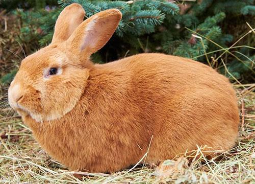 conejos burdeos