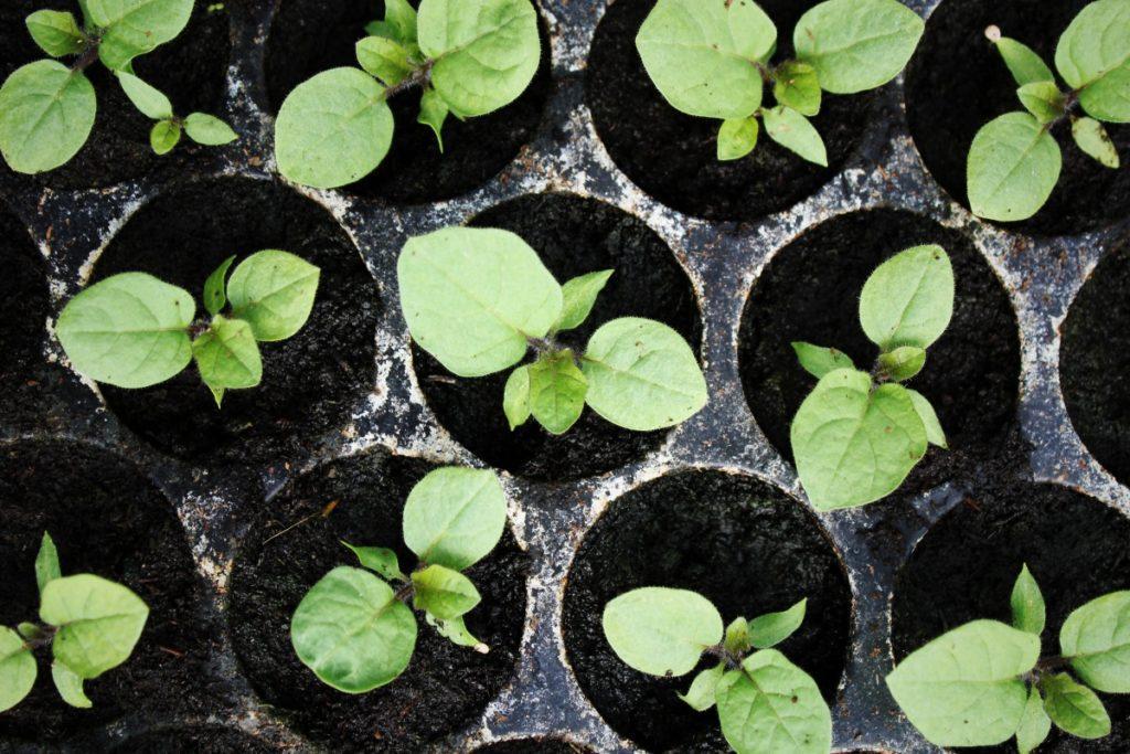 Cuándo plantar berenjenas para plántulas, tiempo y cuidado en el hogar
