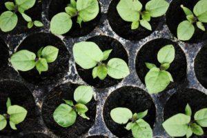 Cuándo plantar berenjenas para las plántulas, tiempo y cuidado en el hogar