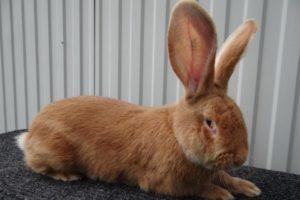 Descripción y características de los conejos de raza rizen, sus colores y contenido.