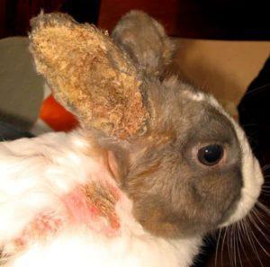 Síntomas y tratamiento de enfermedades del oído en conejos en casa.